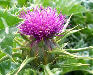 Milk_thistle_flower