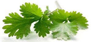 cilantro-leaves2